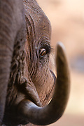 Close up portrait of an African elephant, Loxodonta africana.