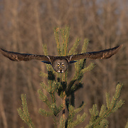 Adult great gray owl in flight, hunting in Canada.