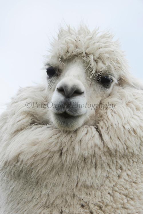 Alpaca (Vicugna pacos)<br /> Condor Bioreserve as part of the Antisana Ecological Reserve<br /> ECUADOR, South America<br /> Last erupted between 1801 and 1802