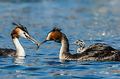 Great Crested Grebe Pictures - Photos
