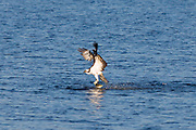 Osprey, Pandion haliaetus, swooping down and catch mullet fish on Captiva Island, Florida USA