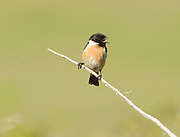 A male Stonechat (Saxicola torquata) calls from the top of a bush.  Cuckmere Haven, Sussex, UK.