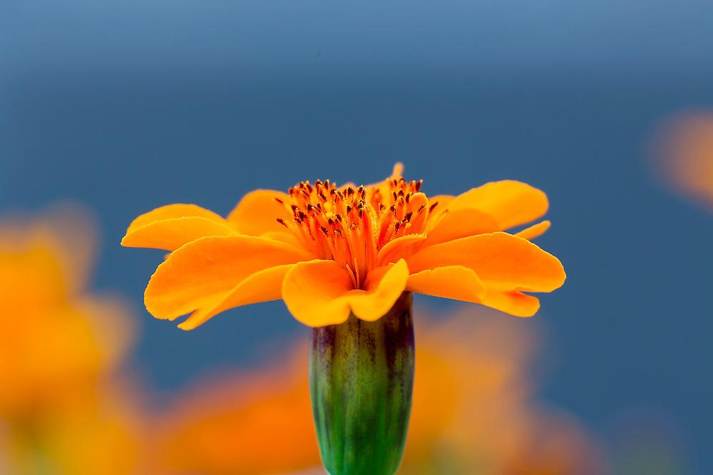 A Deep Orange Marigold Flower on a Blue Backdrop in the Garden