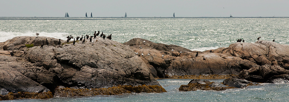 Newport RI - Cormorants and a yacht race off shore. The coast on a brilliant August morning.