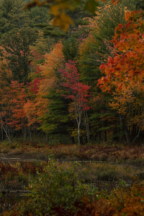 Autumn foliage within the wetlands of Royalston.