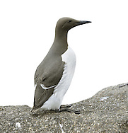 Guillemot - Uria aalge. L 42cm. Familiar seabird that nests in densely packed breeding colonies. Swims well and flies on whirring wingbeats. Sexes are similar. Adult in summer has chocolate-brown head and upperparts (darkest in N birds) and white underparts. Bill is dark and dagger-like; so-called 'Bridled Guillemot' has white 'spectacle' around eye. In winter, has white on cheeks and throat but black line running back from eye. Voice Utters growling calls at breeding colonies. Status Locally numerous at seabird colonies with precipitous cliff ledges. Moves offshore outside breeding season. Suffers badly in oil spills.