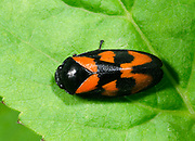Close-up of an adult Black and red froghopper (Cercopis vulnerata) resting on a leaf in a Norfolk woodland habitat in summer