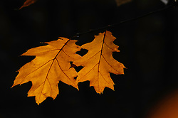 Quercus rubra