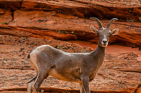 Bighorn sheep (Ovis canadensis) on the Zion-Mt. Carmel Highway, Zion National Park, Utah, USA