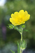 SULPHUR CINQUEFOIL Potentilla recta (Rosaceae) Height to 70cm. Upright, hairy perennial with stiff stems. Favours dry, grassy places and waste ground. FLOWERS are 2-2.5cm across with 5 pale yellow petals; in terminal clusters (Jun-Sep). FRUITS are dry and papery. LEAVES are palmately divided into 5 or 7 finger-like lobes. STATUS-Occasionally naturalised in S and E England.