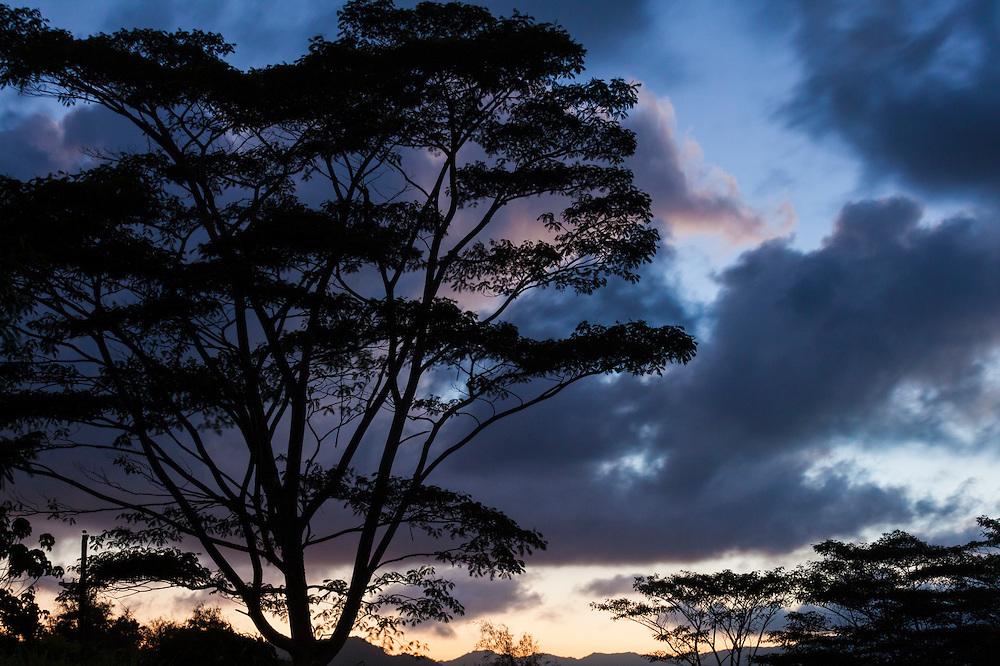 Silhouettes of invasive albizia trees (Falcataria moluccana) growing on a farm along the Kaumualii Highway west of Lihue, Kauai, Hawaii.