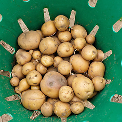 Recentyly harvested potatoes at the Crimson and Clove Farm in Northampton, Massachusetts.