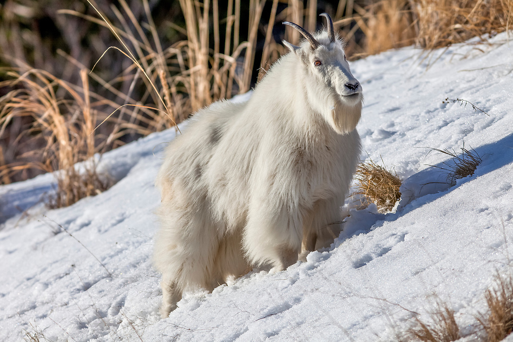 """A mature Billy (Male) Mountain Goat grazes on the South Fork of the Snake hillside just up river from Alpine Junction Wyoming in winter with its full winter coat as protection against the elements. The mountain goat is an even-toed ungulate of the order Artiodactyla and the family Bovidae that includes antelopes, gazelles, and cattle. It belongs to the subfamily Caprinae (goat-antelopes), along with thirty-two other species including true goats, sheep, the chamois, and the musk ox. The mountain goat is the only species in the genus Oreamnos. The name Oreamnos is derived from the Greek term oros (stem ore-) """"mountain"""" (or, alternatively, oreas """"mountain nymph"""") and the word amnos """"lamb"""". Licensing and Open Edition Prints"""