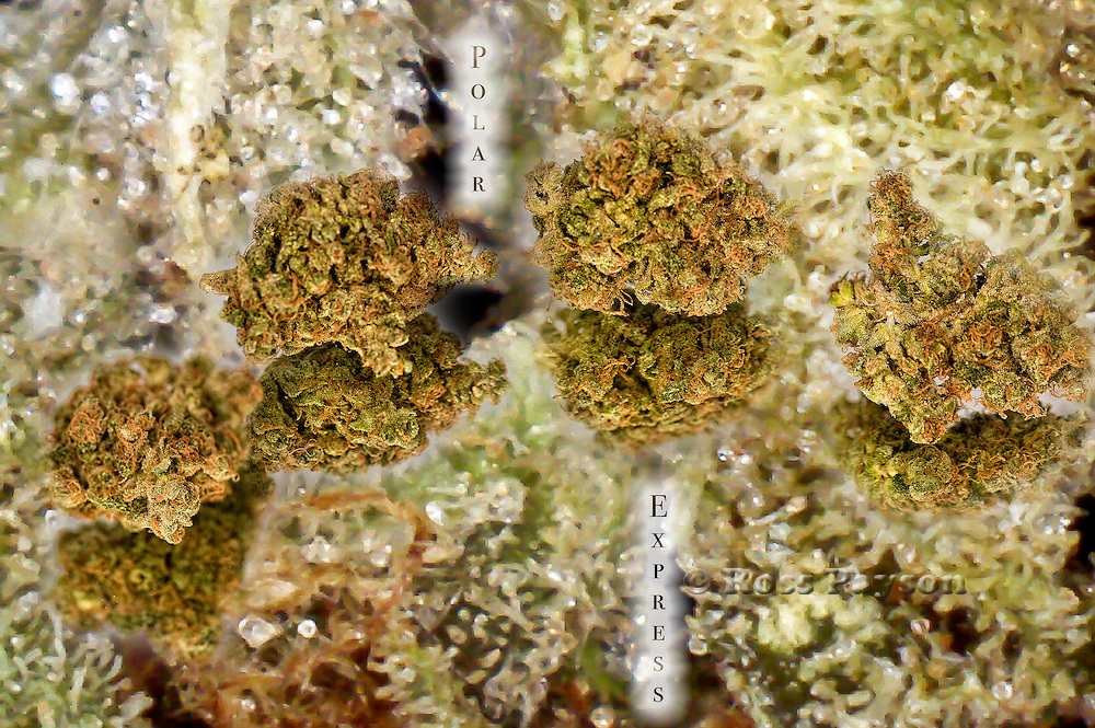 Polar Express shot with trichome background