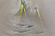 Wind causes blades of grass to draw circles in the sand on Bunes Beach, Moskenesoya, Lofoten Islands, Norway.