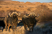 Buffalo (Syncerus caffer)<br /> Private game ranch<br /> Great Karoo<br /> SOUTH AFRICA