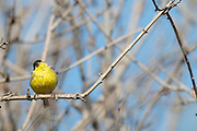 Photograph of Lesser Goldfinch from the Cave Creek Ranch, AZ