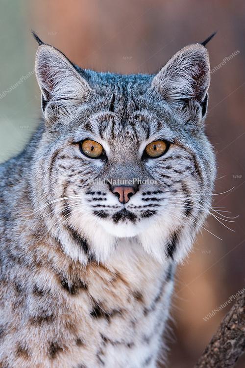 Bobcat (Lynx rufus), in December in Northern Arizona.