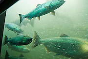 Chinook (King) Salmon (Oncorhynchus tshawytscha) migrate through the fish ladder at the Ballard Chittenden Locks towards spawning grounds in Lake Washington and its tributaries.