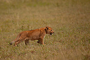 Young Lion cub (Panthera leo) Photographed in the wild