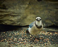 Blue Jay. Image taken with a Nikon D4 camera and 600 mm f/4 VR lens (ISO 220, 600 mm, f/4, 1/200 sec).