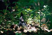 At a clearing the one month old Celebes Crested Macaque found a pile coconuts. | Auf einer Lichtung entdeckte ein 1 Monat alter Schopfmakake einen Berg Kokosnüsse.