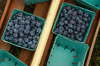 Blueberries picked at Stone Brook Farm in Gilford over the weekend.  (Karen Bobotas/for the Laconia Daily Sun)
