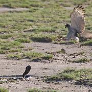 A young Pale Chanting Goshawk (Melierax canorus) bird jumps back from  a Black-necked Cobra (Naja nigricollis) in Amboseli National Park, Kenya, Africa.