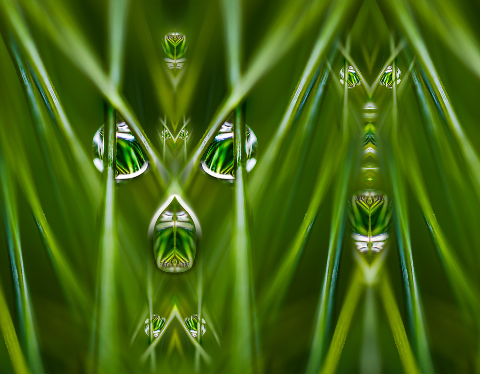 """""""Pinus Primates"""", derivative image from a photo of a pine needle with rasin droplet, overcast light, April, domestic garden, Clallam County, Olympic Peninsula, Washington, USA"""