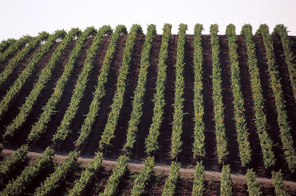 Napa Valley, California. Carneros region - rows of wine grapes.