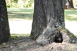 Ground hog (Marmota monax) and or a ground hog den in base of a tree