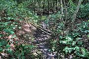 Nederland, Ubbergen, 29-7-2020 In een bosje onderaan de stuwwal op de grens met de ooijpolder heeft zich een bever, gevestigd . Omgeknaagde bomen en het veranderen van de waterhuishouding via dammen van takken, klei en modder vormen hiervoor het bewijs. De bever heeft de waterloop van de afwatering van water, wat uit de stuwwal bij Nijmegen loopt, aangepast zodat het waterniveau gestegen is en bomen met de voeten onder water zijn gekomen . Hierdoor onstaat een typisch beverlandschap van moeras, dode bomen in ondergelopen gebied en watervegetatie . Foto: ANP/ Hollandse Hoogte/ Flip Franssen