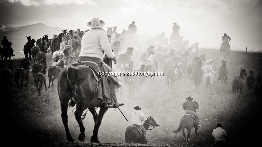 cowboys running horse herd to rodeo in montana