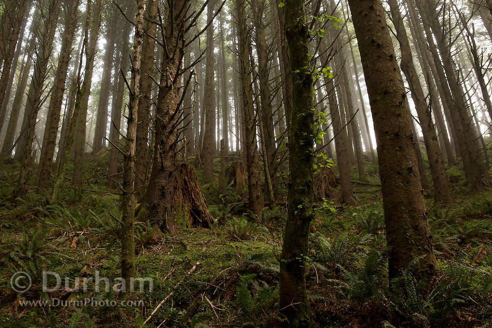 Sitka spruce forest on the edge of the Oregon Coast.