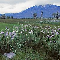 Owens Valley, near Bishop, California.Wild iris and cottonwood trees grow below eastern Sierra Nevada.