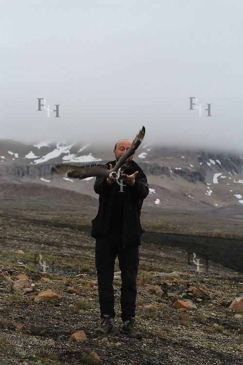 Biologist Sveinn Are Hanssen (Norwegian Institute for Nature Research) releases Arctic skua (Stercorarius parasiticus) during field research; Kongsfjorden, Svalbard.