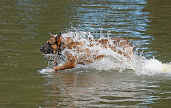 ©Licensed to London News Pictures 08/09/2020  <br /> Greenwich, UK. A highly trained Belgian Dutch Shephard cross dog called Kanoon age 4 is cooling off in the boating lake in Greenwich park, London while hunting for his tennis ball. Photo credit: Grant Falvey/LNP