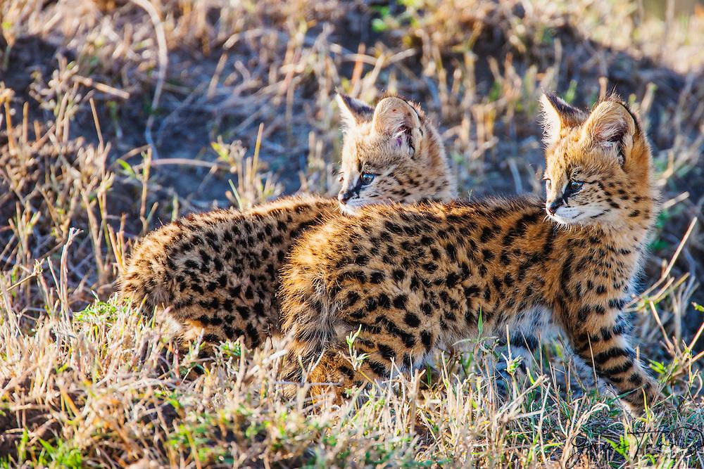 A pair of serval kittens (Leptailurus serval) anxiously await the return of their mother close to their den,Masai Mara, Kenya,Africa