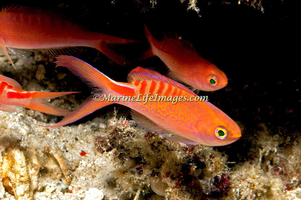 Lori's Anthias inhabit reefs. Picture taken Wetar, north of Alor, Indonesia.