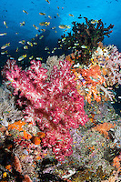 Reef Bommie loaded with colorful Soft Corals and reef fish, with limestone island jutting through the surface above.<br /> <br /> Shot in Indonesia