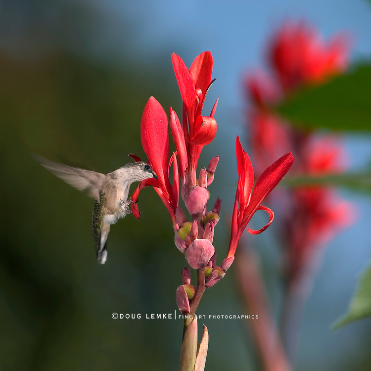 Ruby Throated Hummingbird, Female, Archilochus colubris, Hovering And Nectaring