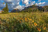 Prairie widflowers in the Many Glacier Valley in Glacier National Park, Montana, USA