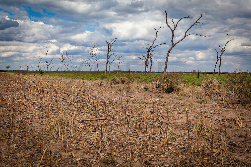 2014/11/24 – Santiago de Estero Province, Argentina: A field fumigated with glysophate, where nothing lives inclusive the surrounding trees. Only the soy seeds which were genetic modified can survive to the pestice. (Eduardo Leal)