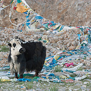 Yak roaming the countryside of Tibet. Asia