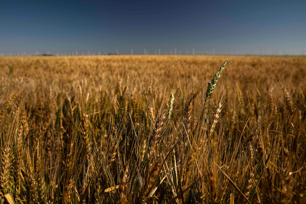 Rural scene of a golden wheat field with wind farm turbines on the horizon.