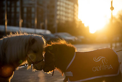 Shetland Ponies Teddy (left) and Bonnie arrive at the Grand Hall entrance at Olympia London ahead of the start of the London International Horse Show.