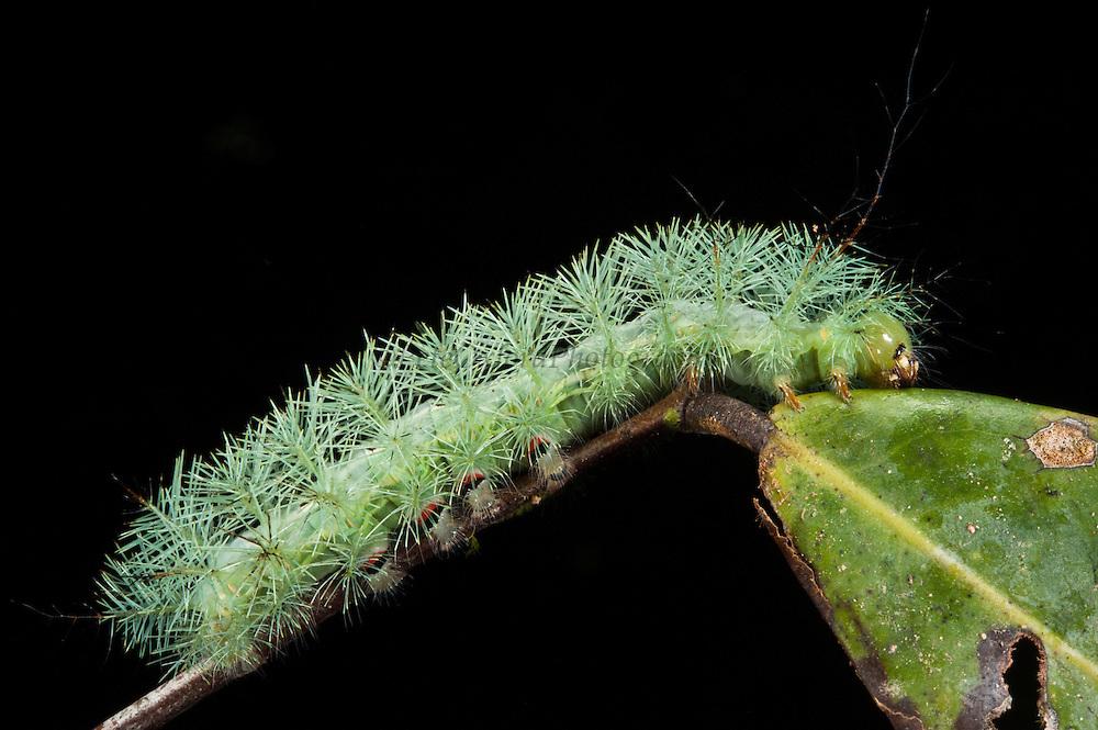 Tropical Caterpillar or Giant Silkworm Caterpillar (Saturniidae)(Lepidoptera)<br /> Yasuni National Park, Amazon Rainforest<br /> ECUADOR. South America