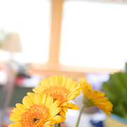 Yellow Gerbera daisies in a vase
