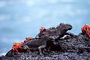Sally Lightfoot crabs, Grapsus grapsus, crawl over endemic marine iguanas, Amblyrhynchus cristatus, Galapagos Islands, Ecuador ( tropical Eastern Pacific Ocean )