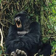 Mountain Gorilla (Gorilla gorilla beringei) male silverback yawning in Volcanoes National Park in Rwanda, Africa.